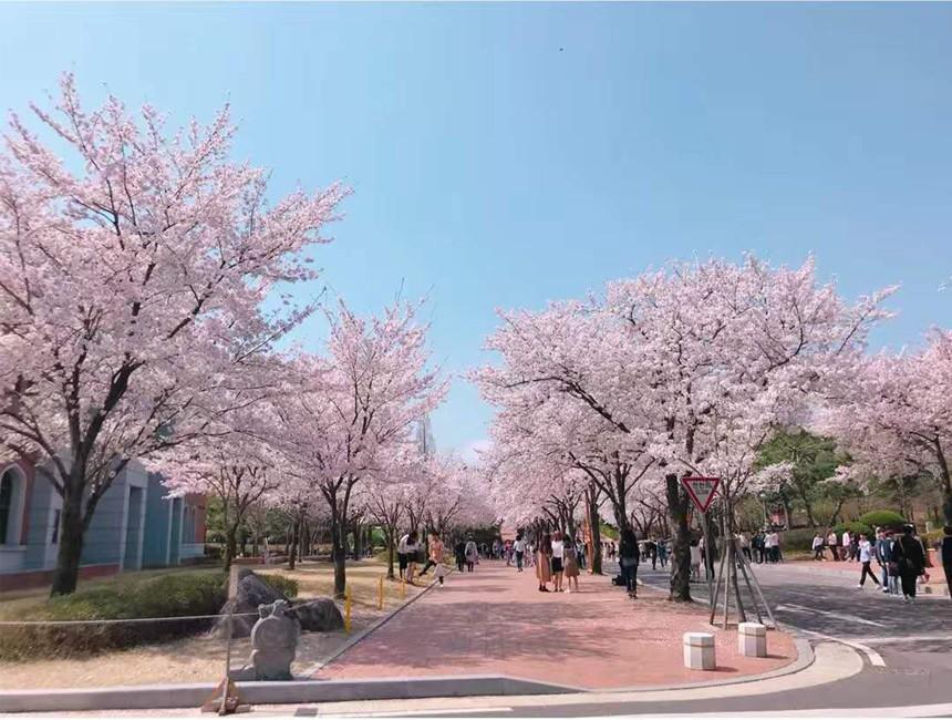 春天启明盛开的樱花.jpg